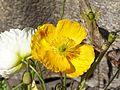 Papaver nudicaule im Botanischen Garten Erlangen.JPG
