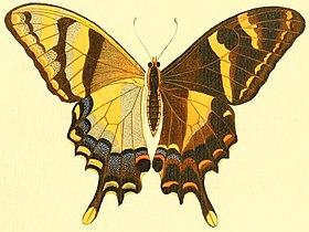 Papilio machaonides.jpg