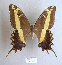 Papilioandraemon.JPG
