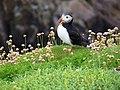 Papuchalk na ostrově Great Saltee.jpg