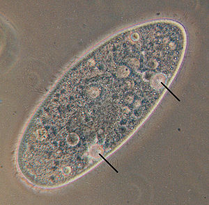 Osmoregulation - Protist Paramecium aurelia with contractile vacuoles.