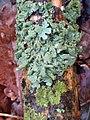 Parmelia sulcata 108228751.jpg