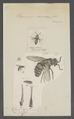 Parnopes - Print - Iconographia Zoologica - Special Collections University of Amsterdam - UBAINV0274 046 01 0003.tif