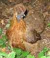Partridge Silkie Hen (cropped).jpg