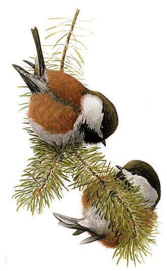 Chestnut (color) - Chestnut-backed chickadee