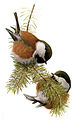 14 / Chestnut-backed Chickadee