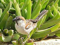 Passer iagoensis male