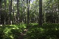 Path in forest in Mountain Lake Wilderness Cluster (Virginia) , near Va 635.jpg