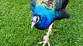 Pavo cristatus at Birdworld 01.jpg