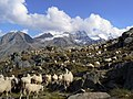Pecore in Paradiso 9.JPG