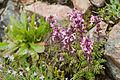 Pedicularis chamissonis var. japonica 16.jpg