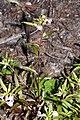 Pedicularis racemosa 0270.JPG