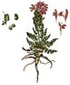 Pedicularis sylvatica, Flora Danica 225.png