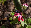 Pelargonium Blick.jpg