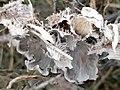 Peltigera canina 127159894.jpg