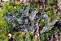 Peltigera dolichorrhiza (Nyl.) Nyl 485642.jpg