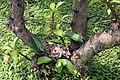 Pereskia grandifolia 33zz.jpg