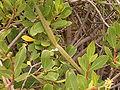 Periploca laevigata (Los Sauces) 09 ies.jpg