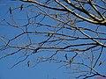 Periquitão Maracanã (Aratinga leucophthalma) e Periquito-verde ou periquito-rico (Brotogeris tirica) em árvore na Rodovia Altino Arantes - SP-351 - panoramio.jpg