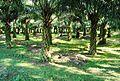 Perkebunan kelapa sawit milik rakyat (76).JPG