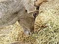 Persian Fallow Deer feeding 02.jpg