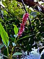 Persicaria amphibia - Water Smartweed.jpg