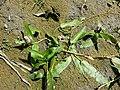 Persicaria amphibia sl20.jpg