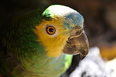 Pet parrot named Alexander (Amazona aestiva).jpg
