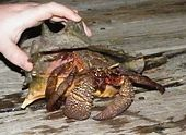 A human hand is holding an immature queen conch shell, inside which is a very large brown hermit crab.