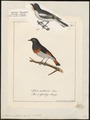Petroica multicolor - - Print - Iconographia Zoologica - Special Collections University of Amsterdam - UBA01 IZ16200364.tif