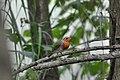 Pettirosso (Erithacus rubecula) - European robin, Milano, Italia, 07.2018 (2).jpg