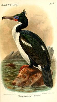 PhalacrocoraxStewartiKeulemans.jpg