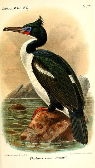 Foveaux shag - Painting from Catalog of birds of the British Isles, 1897