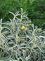 Phlomis angustifolia - Flickr - peganum (2).jpg