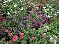 Phlox from Lalbagh flower show Aug 2013 8176.JPG