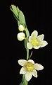Phyllanthus calycinus (female) - Flickr - Kevin Thiele.jpg