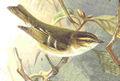 Phylloscopus inornatus.jpg