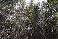 Phyllostachys aurea 7zz.jpg