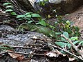 Physignathus cocincinus (Cuvier, 1829) Indo-chinese Water Dragon (15738836494).jpg