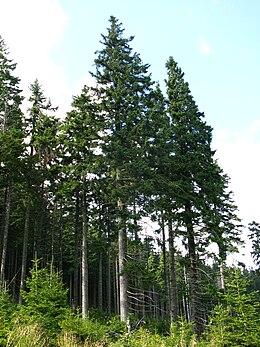 Smrkový hospodářský les v polských krkonoších