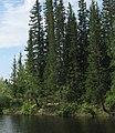 Picea obovata Liutenge River Yakutia.jpg