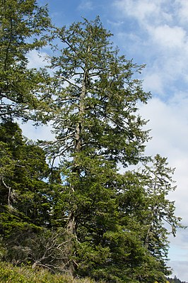 Picea sitchensis Wild Pacific Trail, Ucluelet 1.jpg