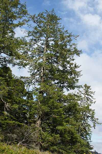 Dataja:Picea sitchensis Wild Pacific Trail, Ucluelet 1.jpg