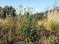 Picris hieracioides subsp. hieracioides sl1.jpg