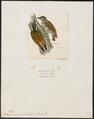 Picumnus innominatus - 1820-1860 - Print - Iconographia Zoologica - Special Collections University of Amsterdam - UBA01 IZ18700023.tif