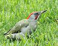 Picus viridis sharpei 071.jpg