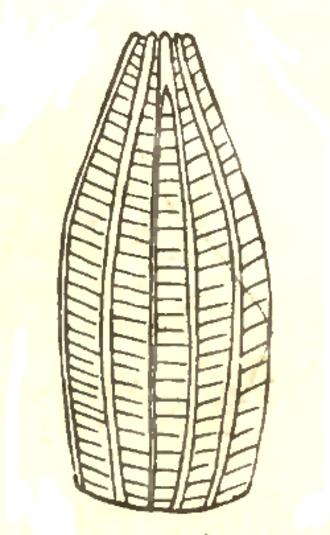 Pieris oleracea - Drawing of P.oleracea egg