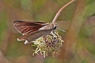 <i>Gegenes pumilio</i> species of insect
