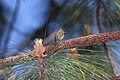 Pine Flycatcher (Empidonax affinis) (3323619417).jpg