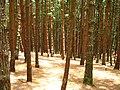 Pine forest, Kodaikanal.jpg